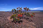Ohia Tree, Island of Hawaii<br />
