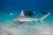 marine biologist Jeff Milisen photographs a sandbar shark, Carcharhinus plumbeus, with parasitic copepod attached behind gills, Honokohau, North Kona, Hawaii (the Big Island),  United States ( Central North Pacific Ocean ) MR 478