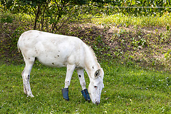 White mule with boots on its front hooves