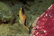 longsnout butterflyfish or Poey's butterflyfish, <br /> Prognathodes aculeatus ( formerlyChaetodon aculeatus ), <br /> feeding on eggs of sergeant major damselfish, Abudefduf <br /> saxatilis, Commonwealth of Dominica ( Eastern Caribbean Sea )