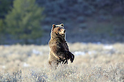 Adult female grizzly bear standing on a sagebrush flat in Wyoming.