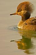 Hooded Merganser, Lophodytes cucullatus, female Lakewood, Colorado aquatic-birds close-ups details fowl free independence natural-world ornithology untamed  waterfowl web-footed wild Zoology