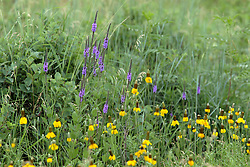 Prairie Coneflower and purple lupine paint the prairie a vivid color of yellow, purple and brown