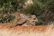 A cheetah cub , Acinonyx jubatus, playing with its mother, Samburu National Reserve, Kenya.