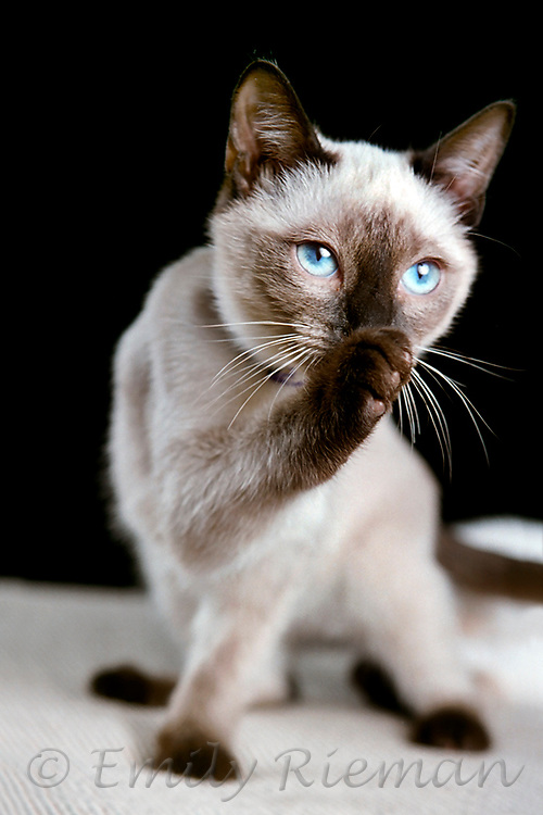 siamese kitten with blue eyes licking paw