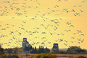 Grain elevators and geese at sunrise<br />