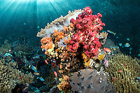 Under a glaring morning sun, Reef fish feed amongst Soft Corals <br /> <br /> Shot in Raja Ampat Marine Protected Area West Papua Province, Indonesia