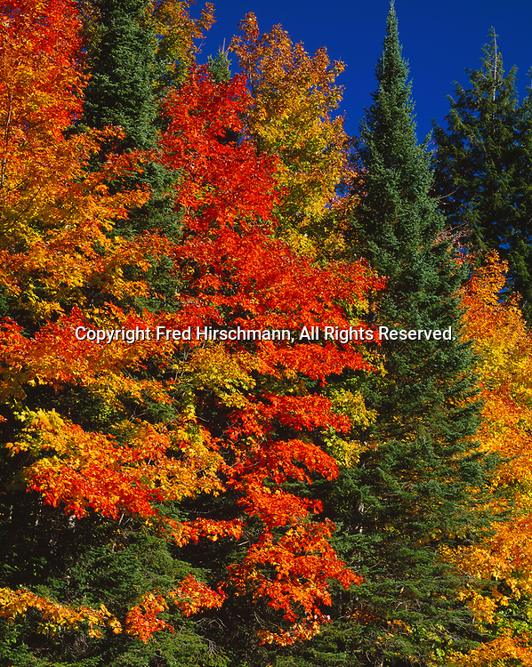 Autumn colors of sugar maples, Acer saccharum, growing among white spruce, Picea glauca, and white cedar, Thuja occidentalis, Hiawatha National Forest, Upper Peninsula of Michigan.