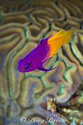 fairy basslet or royal gramma, Gramma loreto, and grooved brain coral, Diploria clivosa, Bahamas ( Western Atlantic Ocean )