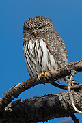 Northern pygmy owl in Wyoming