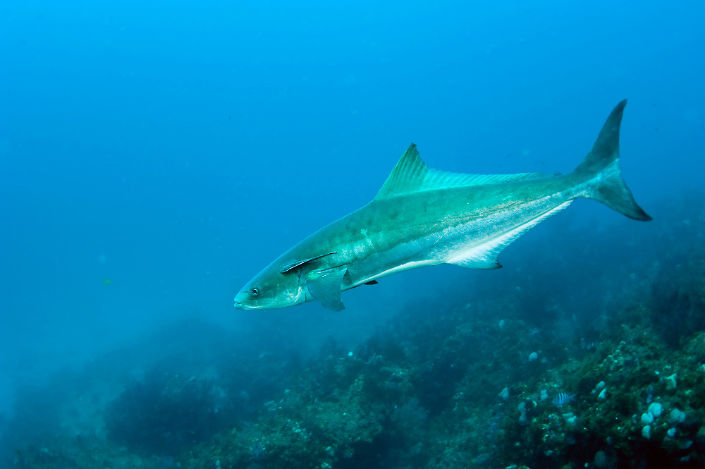 A cobia, Rachycentron canadum, swims over Juno Ledge in Northern Palm Beach County, Florida.