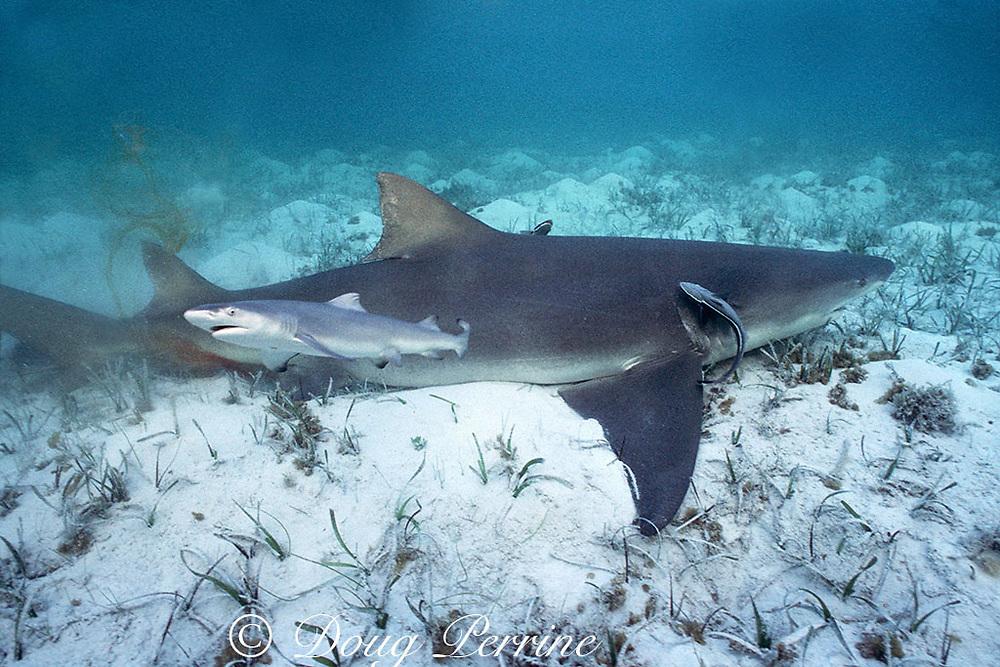 newborn lemon shark pup, Negaprion brevirostris, swims away from mother after birth, sharksuckers, Echeneis naucrates, cling to mother, Bahamas ( Western Atlantic Ocean )