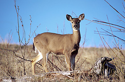 Columbia black-tailed deer (Odocoileus hemionus), Mt. St. Helens National Volcanic Monument, Washington, US