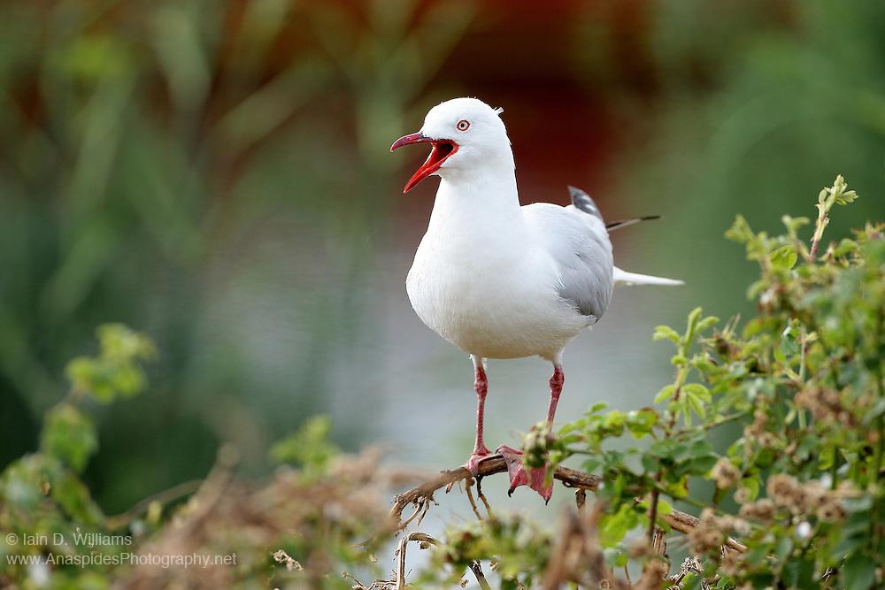 Silver Gull (Chroicocephalus novaehollandiae) - Australia