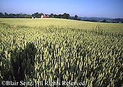 Ripe Wheat (grain product) Fields with Farmhouse in Background, Berks County, PA.