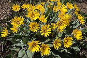 Arrowleaf Balsamroot blooms yellow on the Iron Creek to Teanaway Ridge Trail, in Wenatchee National Forest, near Blewett Pass, Washington, USA. Arrowleaf Balsamroot (Balsamorhiza sagittata, in the aster/daisy family, Asteraceae/Compositae) is native to much of western North America from British Columbia to California to the Dakotas, growing in many types of habitat from mountain forests to grassland to desert scrub. All of the plant can be eaten, albeit bitter and pine-like in taste.