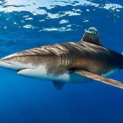 Oceanic whitetip shark (Carcharhinus longimanus) accompanied by pilotfish (Naucrates ductor) cruising just under the surface off Cat Island, Bahamas.