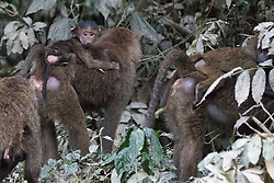 Baboons With Infants