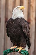 Sequoia Bald Eagle Rescue