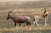 Topi  (left) watched by a Kongoni (Coke's Hartebeest)  which is a sub-species of the Red Hartebeest, Serengeti, Tanzania