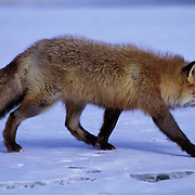 Red Fox, (Vulpus fulva) Adult hunting along bank of river. Captive Animal.