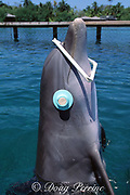 bottlenose dolphin, Tursiops truncatus (c), finds target using sonar while eyes are covered by cups, Roatan Institute for Marine Science, Roatan, Bay Islands, Honduras (Atlantic) (not to be used to promote anti-captivity campaigns)