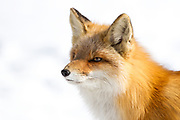 A red fox portrait set against a white snow background.