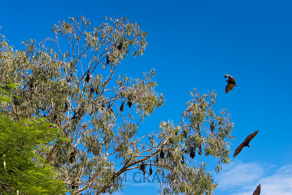 Spectacled Flying-fox bats roosting, Port Douglas, Queensland, Australia
