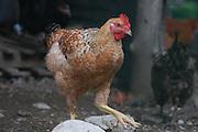 Free roaming chicken