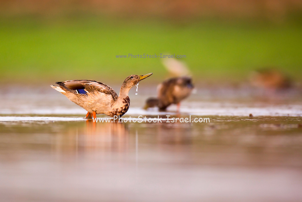 Wading birds in a foraging in a water pond