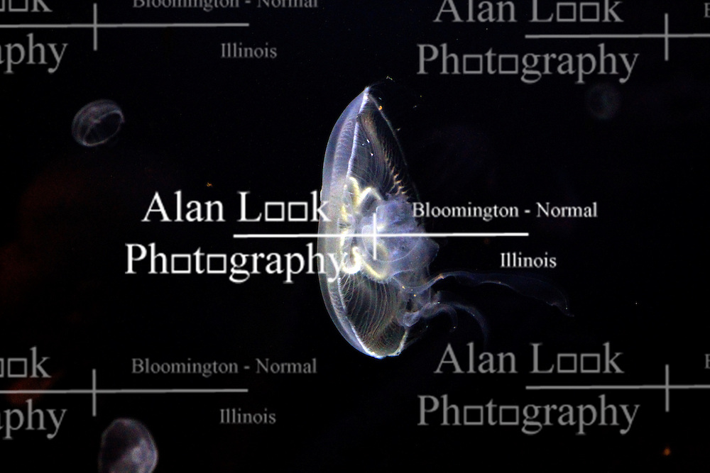 14 May 2013:  Moon Jellyfish. This animal is a captive animal and well cared for by a zoo.