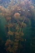 Aquatic Vegetation<br /> Grasspond<br /> Rewa Amerindian Village<br /> GUYANA<br /> South America