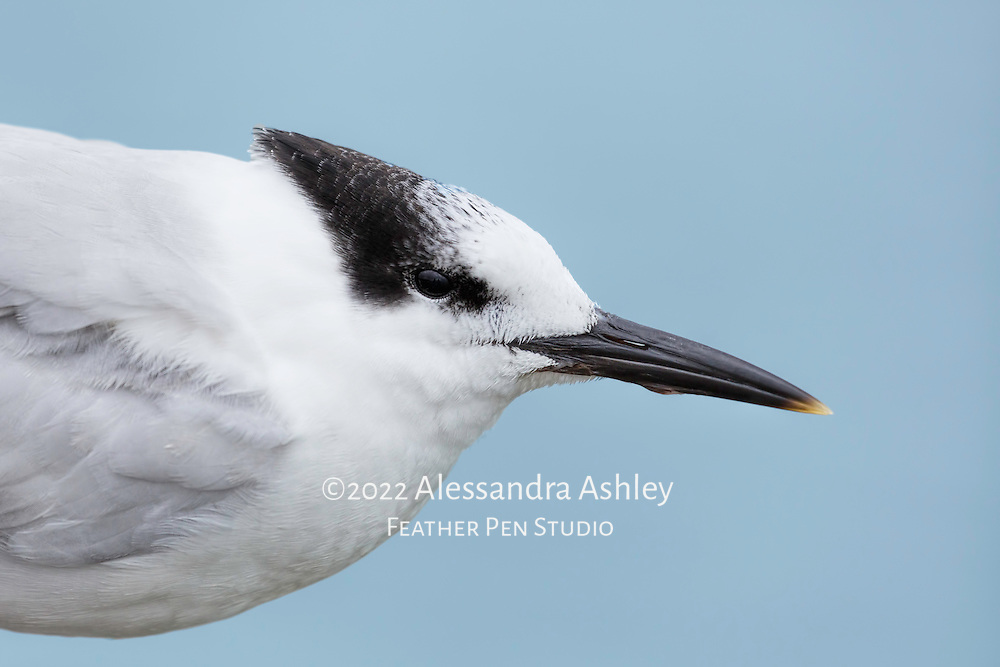 Portrait of tern against backdrop of blue ocean water.