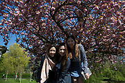 Group of Chinese girls have their photo taken underneath pink cherry blossom on trees in Regents Park in London, UK. Due to sunny days and cold nights, the season for the flowering trees has been extended longer than is usual.
