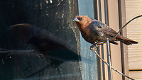 Brown-headed Cowbird. Image taken with a Fuji X-T1 camera and 100-400 mm OIS lens.
