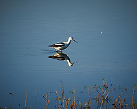 American Avocet. Morning at Black Point Wildlife Drive in Merritt Island National Wildlife Refuge. Image taken with a Nikon D700 camera and 18-300mm VR lens (ISO 200, 300 mm, f/10, 1/400 sec).
