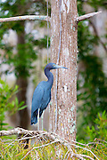 Little Blue Heron, Egretta caerulea, on tree branch in the Florida Everglades, United States of America