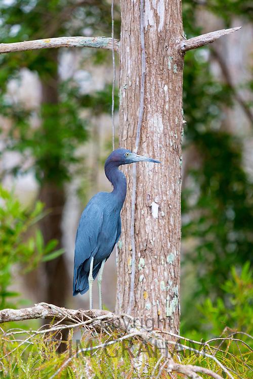 Little Blue Heron, Egretta caerulea, on tree branch in the Florida Everglades, United States of America