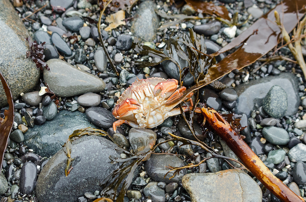 Ventral view of a Rock Crab (Cancer irroratus) in Acadia National Park, Bar Harbor, Maine.