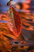The leaf of a balck tupelo (Nyssa sylvatica) in fall, Oregon.