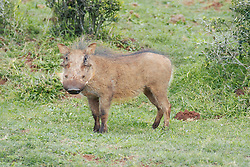 June 24, 2015 - Wart Hog, Addo national park, South Africa / (Phacochoerus aethiopicus) / side (Credit Image: © Winkler, A/DPA/ZUMA Wire)