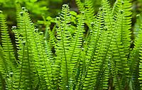 Ferns, Mount Rainier National Park, Washington, USA.