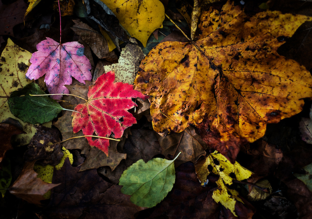 Dying leaves on the Mill Race Trail in Oella, Maryland.