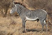 Huge maile grevy's sebra (Equus grevyi) from Samburu National Reserve, Kenya.