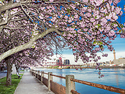 Cherry blossoms are with the view of Roosevelt Island from Manhattan side in New York City.