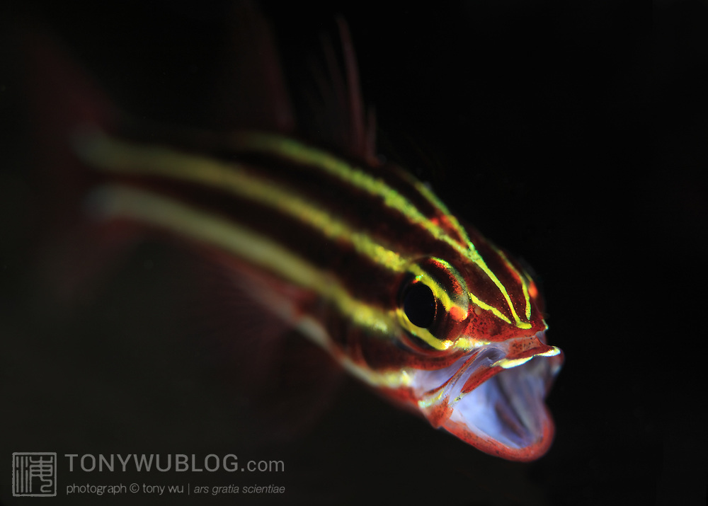 Blackstripe cardinalfish (Apogon nigrofasciatus) with mouth open. Ambon, Indonesia