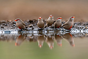 Common waxbills (Estrilda astrild) at a pond in Zimanga Private Reserve, South Africa.