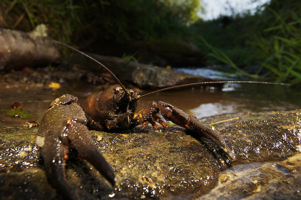 Large male European or Noble crayfish (Astacus astacus) in a small creek running into a river that drains into the Black Sea. Leszczowate, Poland.