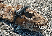 """A lava lizard rests on the toothy grinning head of a dead Galápagos Sea Lion (Zalophus wollebaeki) carcass drying on Punta (Point) Espinoza on Fernandina (Narborough) Island, Galápagos Islands, Ecuador, South America. Collectively known as lava lizards, seven ground lizard species of the reptile genus Tropidurus are endemic to the Galápagos Islands (and commonly placed in the genus Microlophus). All seven most likely evolved from a single ancestral species, demonstrating the principal of adaptive radiation that is typical of the inhabitants of the Galapagos archipelago. One lava lizard species occurs on all the central and western islands, which were perhaps connected during periods of lower sea levels, while one species each occurs on six other more peripheral islands. Males and females of all Tropidurus species are marked differently. The male is usually much larger than the female, and its body is more brightly colored and distinctly patterned. Markings vary considerably, even within an individual species. Animals living mainly on dark lava are darker than ones which live in lighter, sandy environments. Like many lizards, they show changes of color with mood and temperature. Published in """"Light Travel: Photography on the Go"""" book by Tom Dempsey 2009, 2010."""