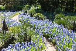 Bluebonnets and cactus in Inks Lake State Park, Texas in the Texas Hill Country, USA